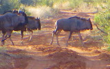 Telescopic Pic Wildebeests Crossing Road South Africa- My Photo