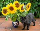 Cat and sun flowers