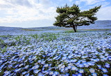 Baby-blue-eyes flower field