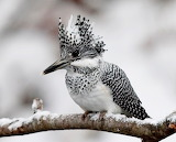 "Science tumblr currentsinbiology ""Female Crested Kingfisher"""