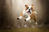 English-bulldog-jump-flying
