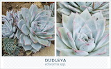 Outdoor succulents-dudleya