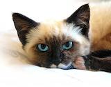Siamese cat tired