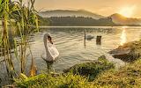 Swan, sea, river, trees, nature, mountains, sun