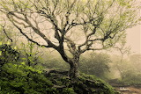 Aging birch tree Craggy Garden Pinnacle