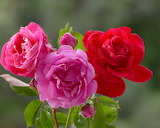 ^ Three colors roses, light pink, pink and red