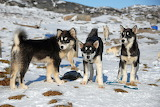 dogs, Greenland