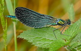 Male Demoiselle Insect CC0 Commons