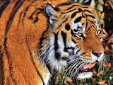 Tiger-3052039 960 720