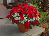^ Red Calibroacha and Calipetite White Impatiens