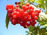 Viburnum-opulus berries