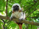 cottontop tamarin monkey