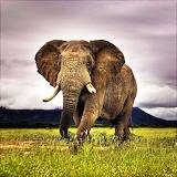 African Elephant...