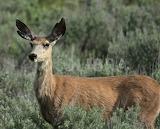 Yellowstone mule deer cow