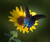 Butterflies - Pipevine Swallowtail - Texas