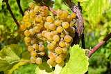 healthy food-grapes
