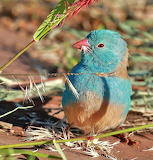 Blue-Capped Cordon Bleu, Photo by Suranjan Mukherjee