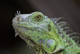 Animals - Green iguana - South Florida