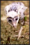 Fallen from nest - barn owlet