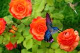 Roses-hummingbird