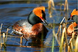 Colorful Slavonian grebes from Microsoft Jigsaw by auricle99; Ar