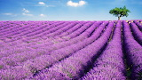 Lavender field, France A78