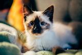 Cat-AdorableYoungTopi