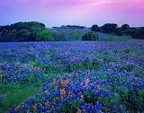 Bluebonnet Flowers Sunset