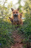 Animals tumblr mohnblumesworld Fox Kits