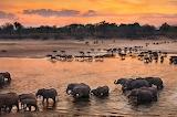 Elephants cross the Luangwa River in Zambia