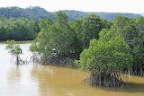 Mangrove forest, Brazil