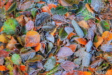 Frosty Autumn Leaves