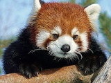 Little Red Panda...