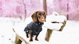Dachshund In Winter