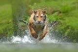 Cats - Siberian Tiger