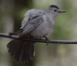 Grey Catbird on Defense