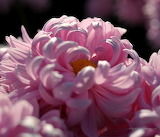 Chrysanthemum-Flowers
