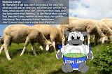 Looky Lamb Eating
