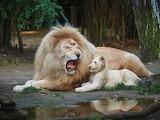 roaring lesson