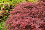 Red-foliage-weeping-laceleaf-japanese-maple-tree-acer-palmatum