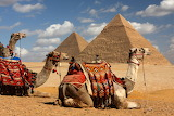 ^ Camels of Giza