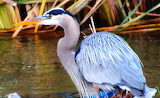 Blue bird-001