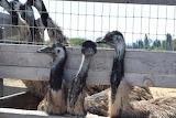 Emus in Buellton, CA