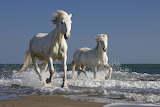 Camargue Horses Running in the Surf, France