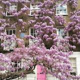^ Wisteria in full glory, Kensington, London, by Aexandra Gorst.