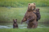 Brown Bears Cubs Wet 559770 1280x853