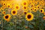 Sunflower-3550693 340