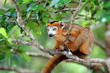 crowned lemur ape