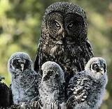 Owl Family - Sooty Owls?