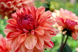 Dahlia-flower-nature